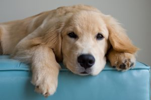 Golden Retriever Dog Names