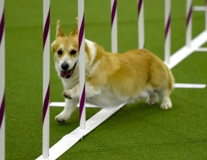 Pembroke Welsh Corgi Dog Names