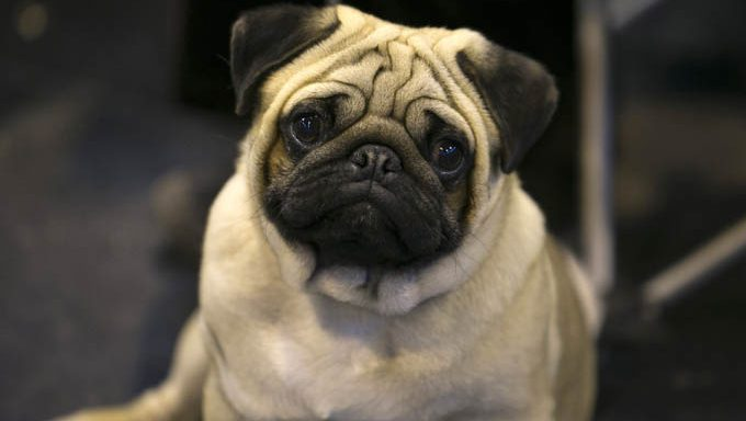 pug wondering about the best pug dog names