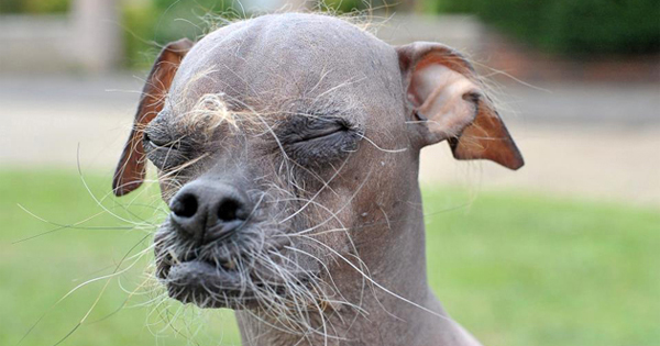 Chinese Crested Wins World S Ugliest Dog Competition Dogtime