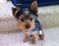 Dear Labby: I'm jealous of a Yorkshire Terrier