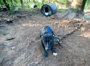 Authorities rescue 46 Pit Bulls from Michigan dog-fighting ring