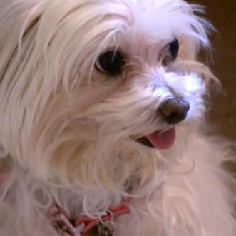 Owner forced to pay ransom for dognapped Maltese