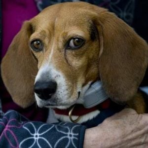 Beagle survives 70-foot fall from bridge