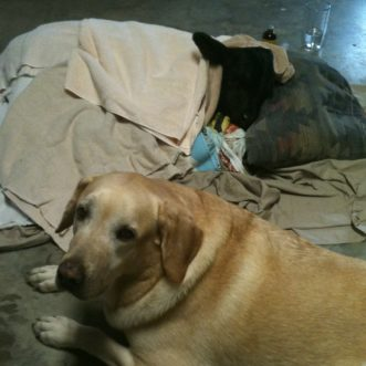 Labradors rescue sick calf, sleep by his bedside