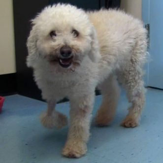 Poodle hit by car and carried 11 miles survives