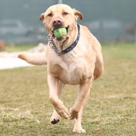 Labrador drops 78 pounds, is ready for new home