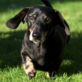 Nose cells help paralyzed dogs walk again