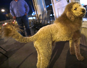 """Lion dog"""" gives confused onlookers a scare - Dogtime"""