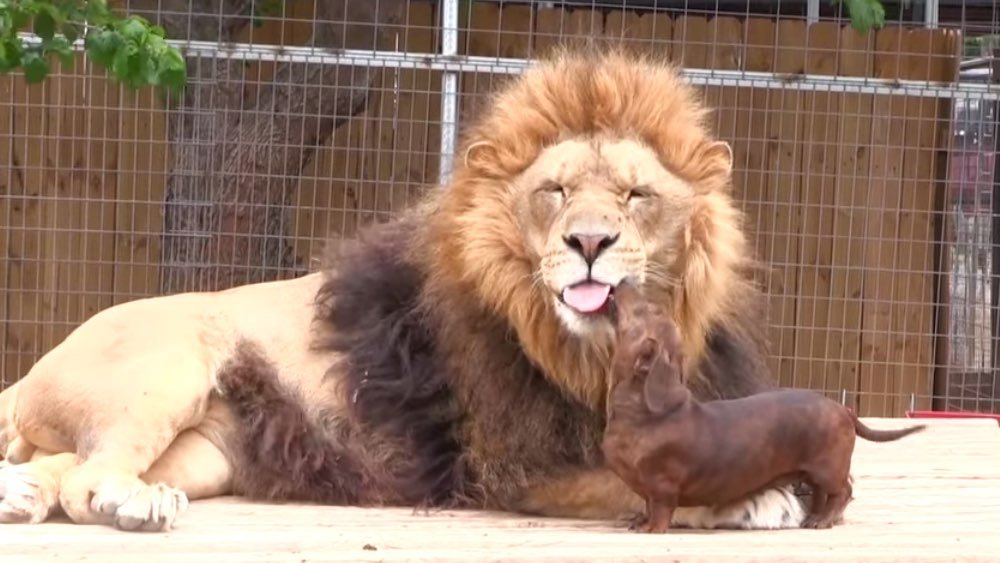 dachshund-lion-dogs-friends