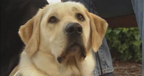 Guide dog in training helps save handlers from speeding car