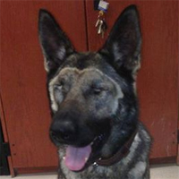Military Working Dog loses vision, finds new home