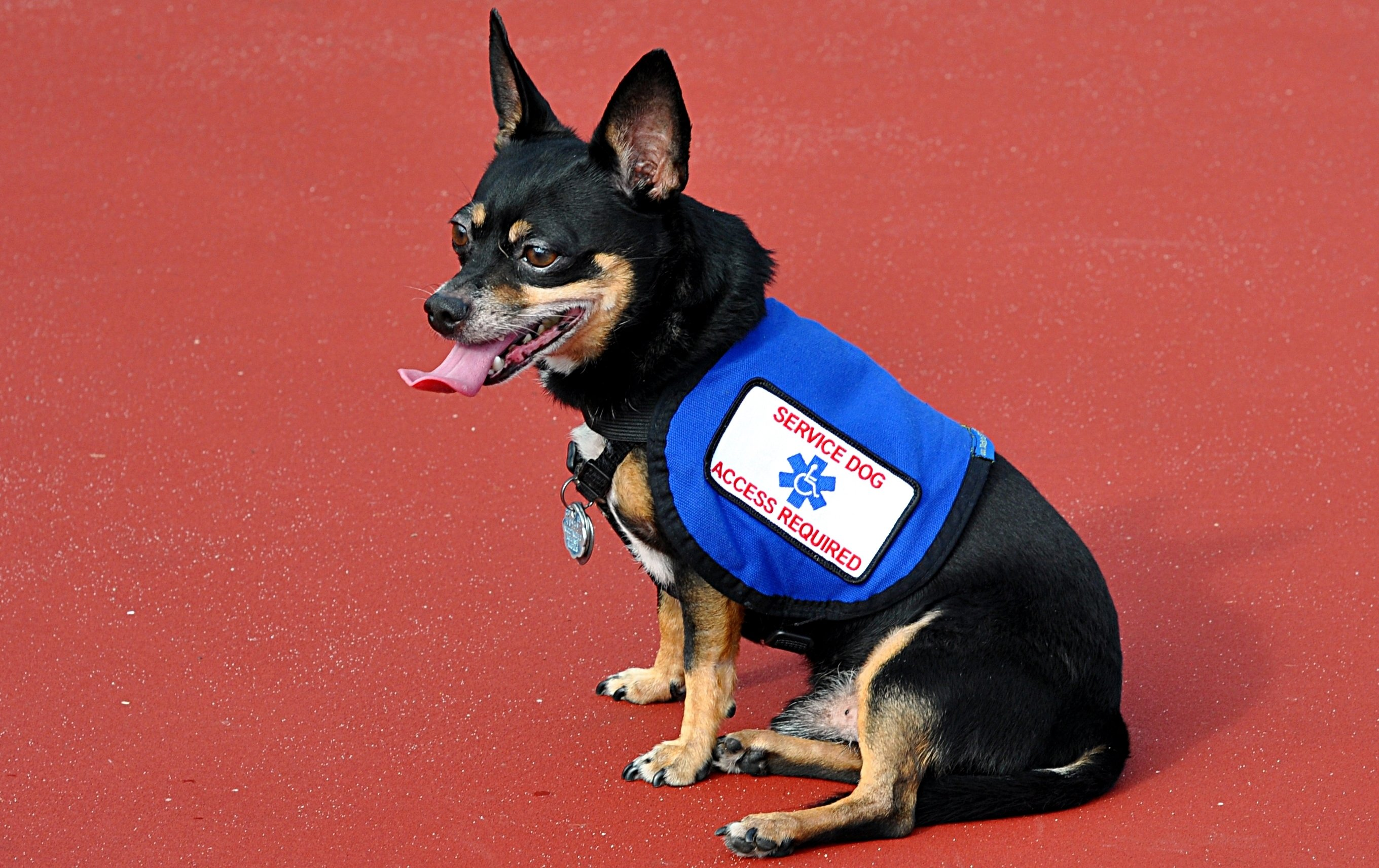 Scammers Use Fake Service Dog Ids To Play The System Dogtime