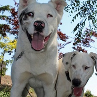 A blind dog and a deaf dog become inseparable friends