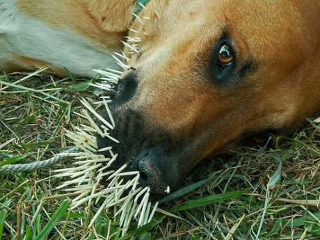 Dogs and porcupines - Dogtime