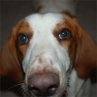 Wily Basset mix finds a home after 6 years on the lam