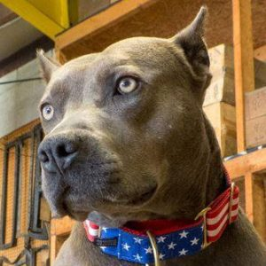 "Pit Bull named ""American Hero Dog"" at 2013 Hero Dog Awards"