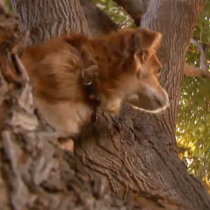 Tree-climbing dog wows neighborhood