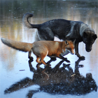 Real-life 'Fox and Hound' enchant people on the web
