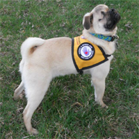 Blind Pug Xander becomes therapy dog