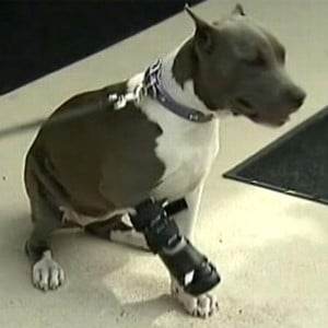 Three-legged dog gets prosthetic limb
