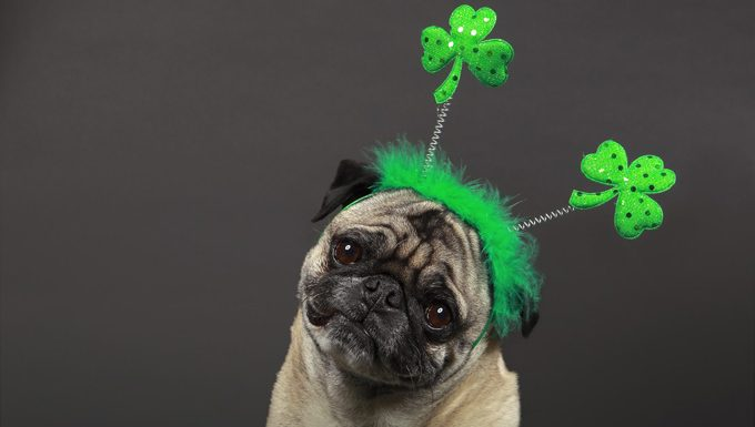 dog with shamrock headband for st. patrick's day