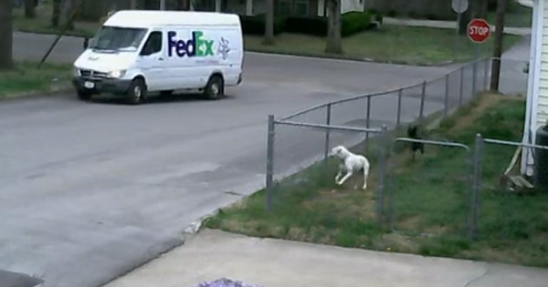 Dogs and the FedEx delivery truck - Dogtime American Water Spaniel Dogtime
