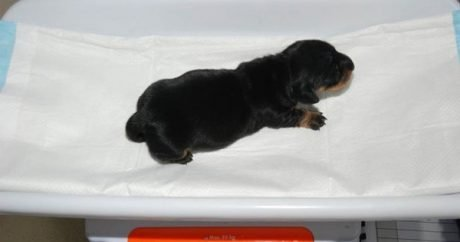 British Dachshund cloned for a whopping $100,000
