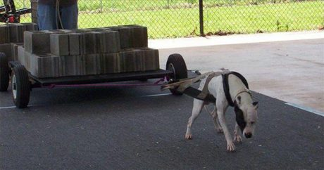 "Critics divided on controversial sport of dog ""weight-pulling"""