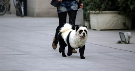"Latest canine trend in China: ""Panda Dogs"""