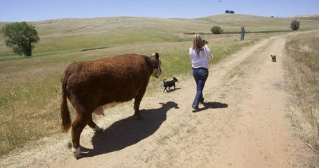 Adorable rescue cow believes she is a dog