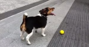 Dog plays fetch by himself
