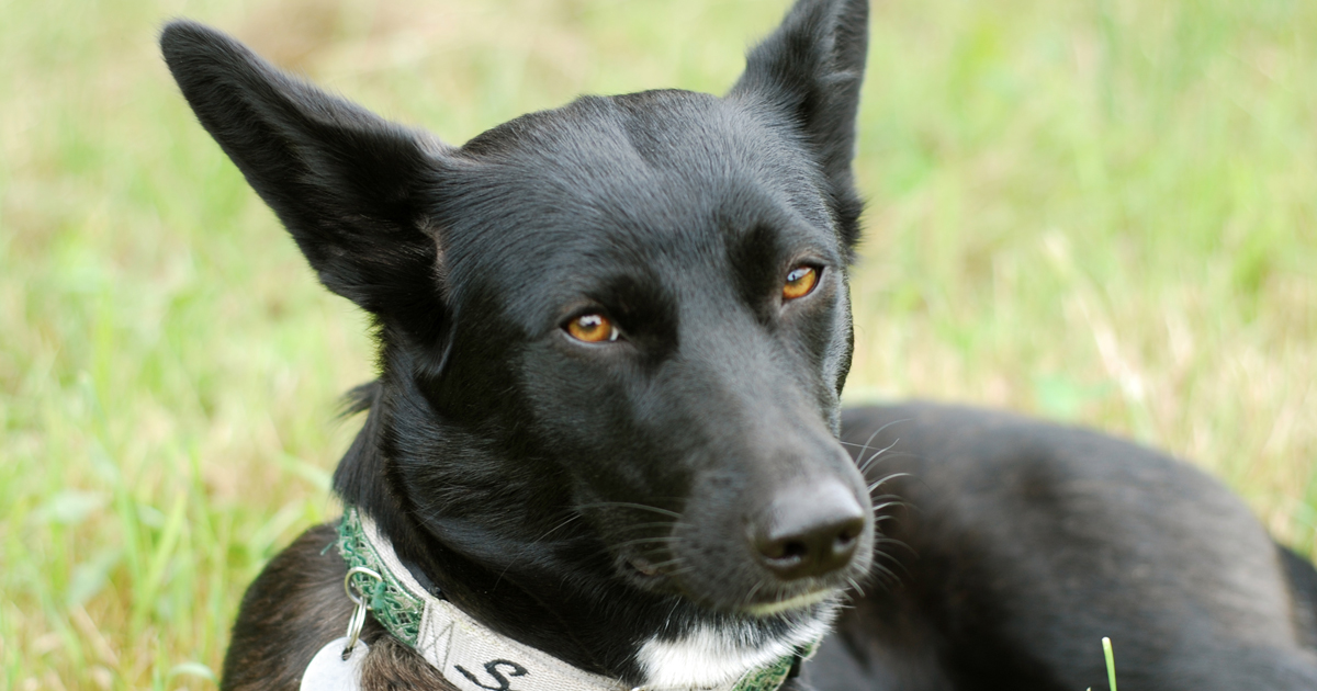 Mutt Dog Breed Information, Pictures, Characteristics & Facts ...