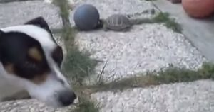 Dog and turtle play ball