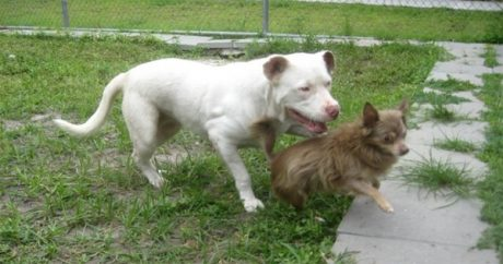 Pit Bull becomes hero to Chihuahua friend