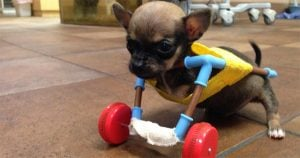 Disabled Chihuahua gets custom (toy) wheels
