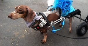 Disabled Dachshund doesn't give up