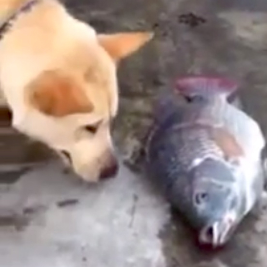 Dog tries to save fish - Dogtime American Water Spaniel Dogtime