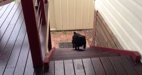 Pug takes the stairs