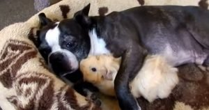 Boston Terrier and guinea pig snuggle-fest
