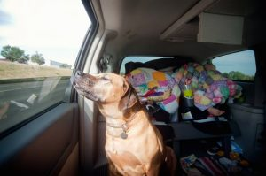 Canine Car Sickness: What To Do About It