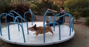 Corgi on carousel