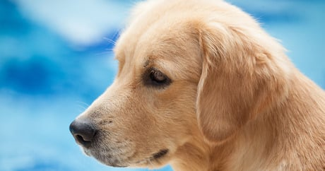 Gene therapy treats all muscles in the body in muscular dystrophy dogs