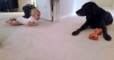 Baby crawls with help from family Lab