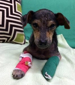 Puppy Attacked And Thrown Into LA River: Adopted!