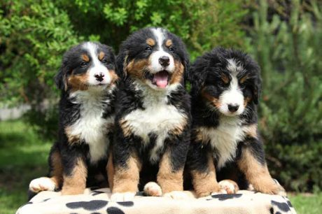 Dogs 101: Bernese Mountain Dog