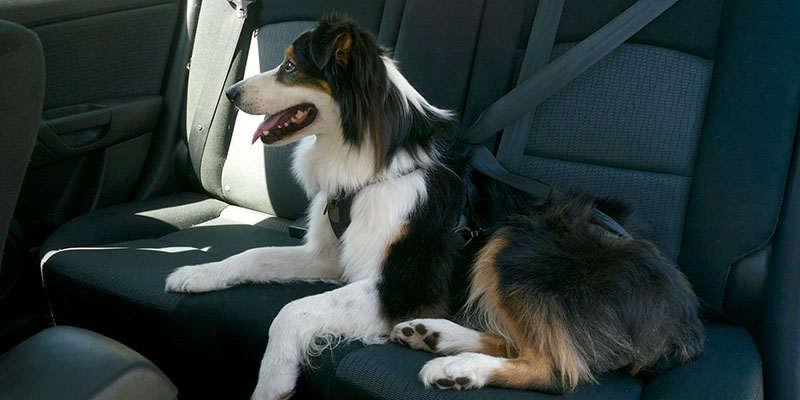 Buckling Up Your Pup How Pet Safety Is Changing The Way
