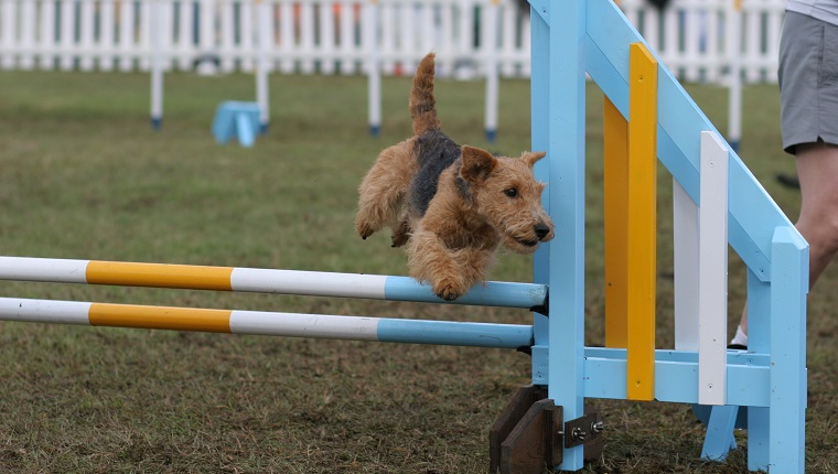 Welsh terrier on hurdle