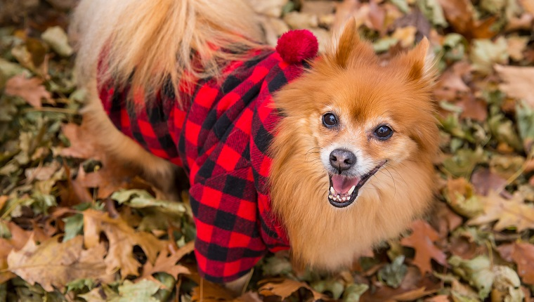 Pomeranian Wearing Red Flannel Hipster Costume For Dog, Lumberjack Plaid Flannel