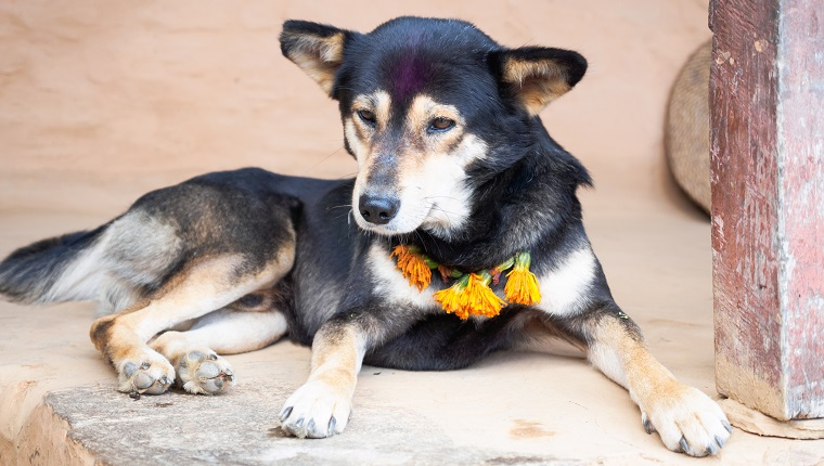 Dog looking embarrassed after being adorned with a Tika and marigold necklace during the Nepali Hindu festival of Tihaar (Dipawali)